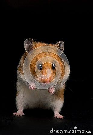 Funny hamster