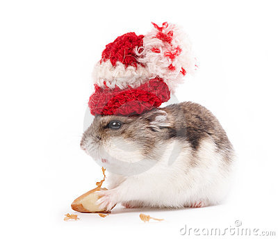 funny hamster pictures. Funny hamster with woollen cap