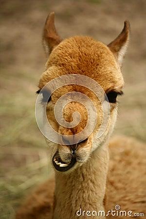 Funny, happy lama portrait