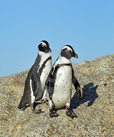 Free Funny Jackass Penguins Stock Photos - 5513243