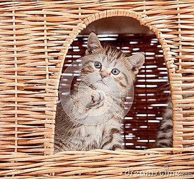 Funny little kitten inside wicker cat house