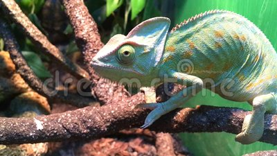 Chameleon on the branch. Funny little reptile chameleon on the branch trying to sneak away stock footage