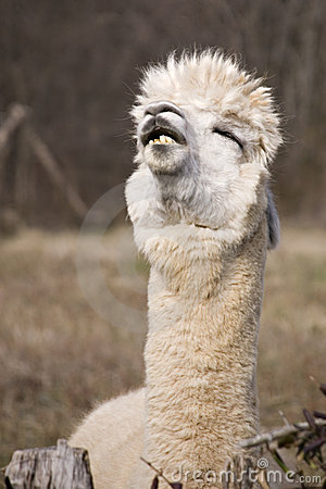 Free Funny Llama Royalty Free Stock Photo - 10948275