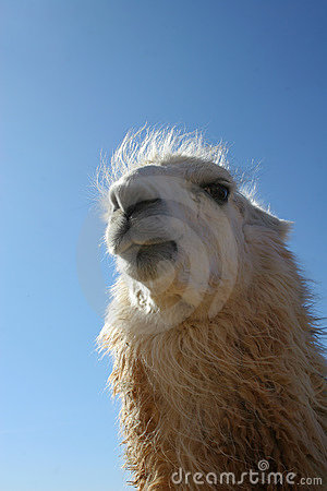 Funny Llama Face Stock Photography Image 13532032