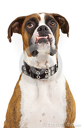 Funny Looking Boxer Dog