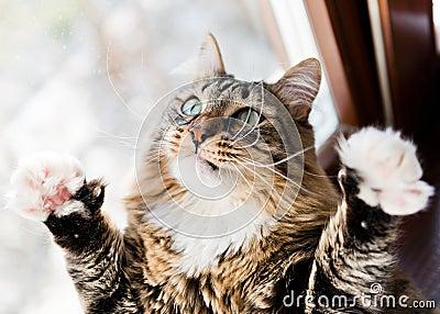 Funny cat raises paws up
