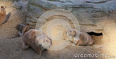Funny marmot family