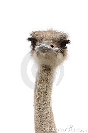 Free Funny Ostrich Stock Photo - 15077390