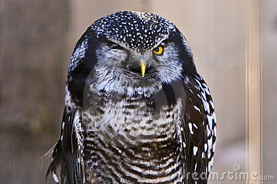 Funny Owl Winkingwith one eye