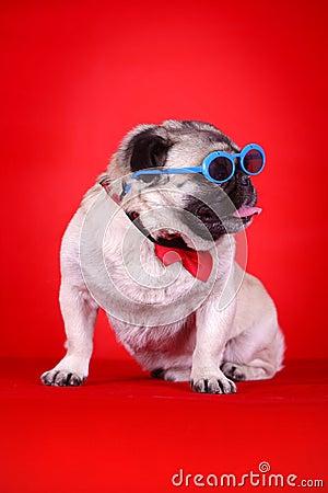 Funny pet dog