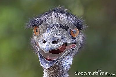 Funny photo of emu close up