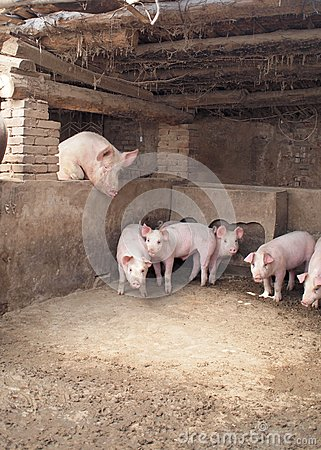 Funny pigs Stock Photo