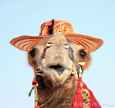 Free Funny Portrait Of Camel With Hat Royalty Free Stock Image - 35755276