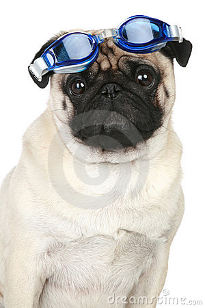 Funny pug dog in blue glasses for a scuba diving