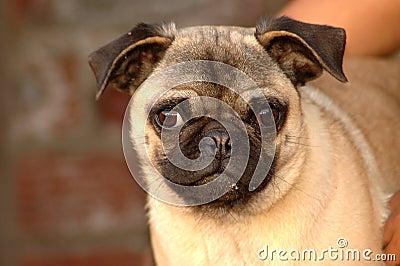 Funny Pug dog face