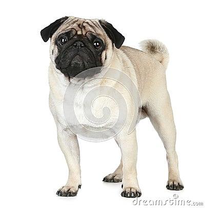 Funny pug puppy