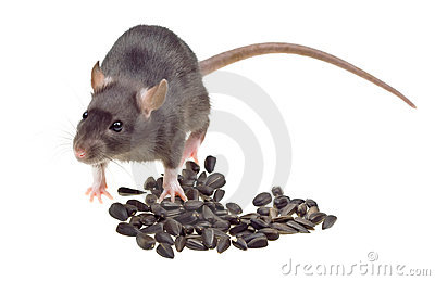 Funny rat eat sunflower seeds isolated on white