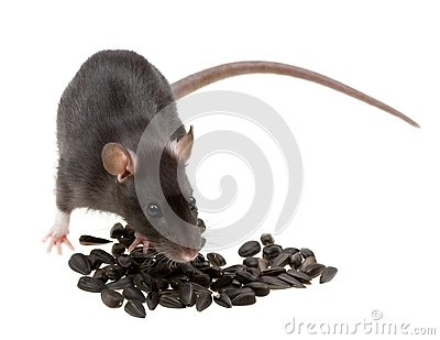 Funny rat eat sunflower seeds on white