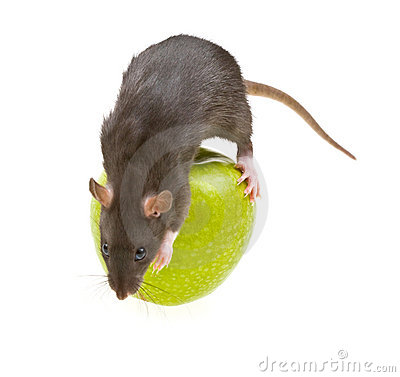 Funny rat and green apple isolated on white