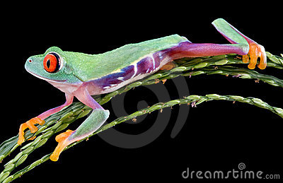 Funny red-eyed tree frog
