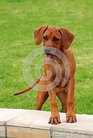 Funny Rhodesian Ridgeback puppy