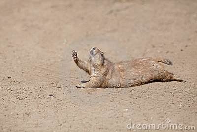Funny rodent rising paw up like it is thirsty