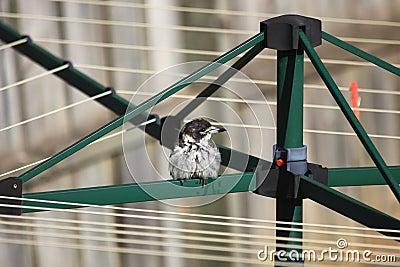 Wet bird on clothes dryer