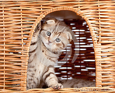 Funny Scottish kitten sitting inside wicker house