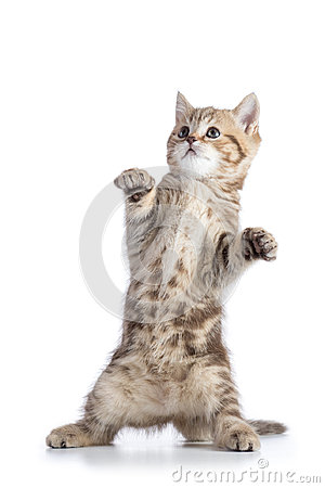 Free Funny Scottish Straight Cat Kitten Standing Isolated Over White Background Stock Photography - 98617982