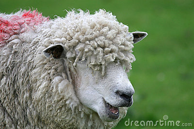 Funny sheep with wool