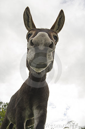 Funny And Silly Or Donkey Royalty Free Stock Images