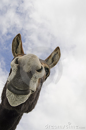Funny Silly Jackass or Donkey