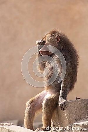 Funny sitting hamadryas baboon