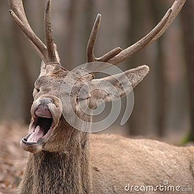 Free Funny Sleepy Deer Stock Photos - 3343423