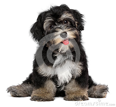 Free Funny Smiling Black And Tan Havanese Puppy Dog Royalty Free Stock Image - 36579786