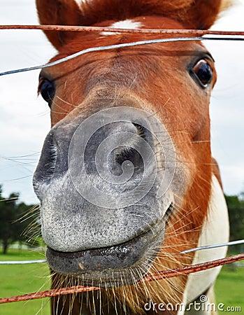 A Funny Smiling Face Horse Head Closeup of Nostril