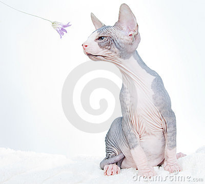 Funny sphinx cat with flower