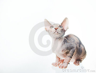 Funny sphinx cat looking up