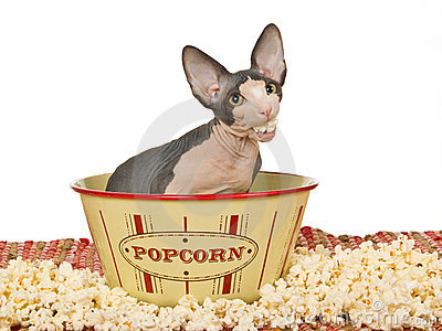Funny Sphynx kitten eating popcorn