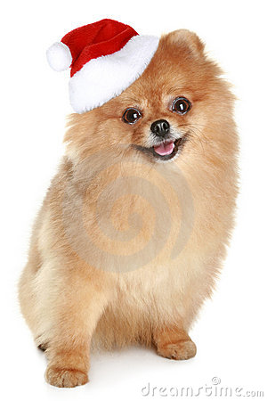 Free Funny Spitz-dog In Santa Red Hat Stock Images - 17656534