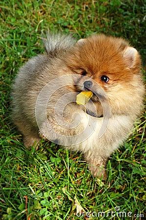 Funny spitz puppy holding autumn leaf