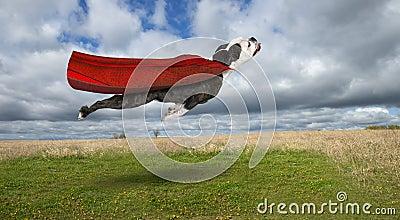 Funny Superhero Dog, Flying Bulldog Stock Photo