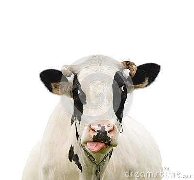 Free Funny Talking Cow Isolated On White Stock Images - 71817914