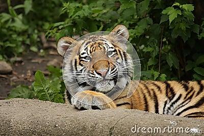 Funny Tiger Cub