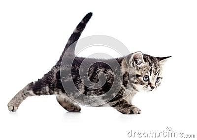 Funny walking black cat kitten on white