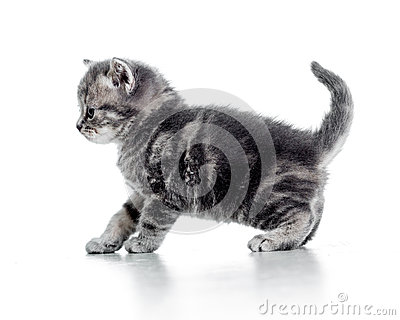 Funny walking black cat kitten on white background