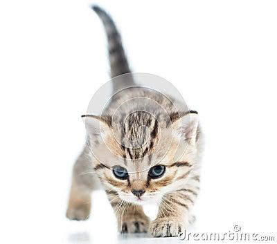 Funny walking cat kitten