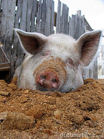 Free Funny White Pig Royalty Free Stock Photos - 11999298