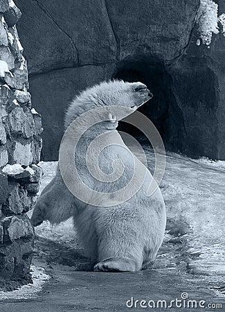 Funny White Polar Bear