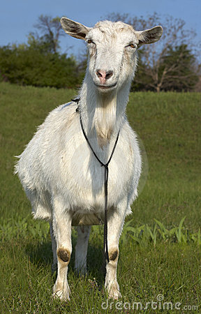 Free Funny Wite Goat Grasing At Lawn Stock Photos - 14236553